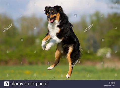 black tri australian shepherd puppy australian shepherd black tri jumping high into the air stock photo royalty