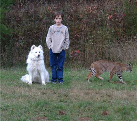 bobcat vs domestic cat images the bobcat vs ian and lanie so it looks like we have a