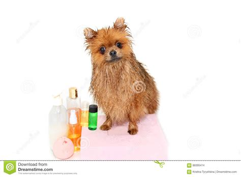 how to bathe a pomeranian at home well groomed grooming grooming of a pomeranian