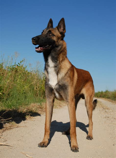 belgian breeds belgian tervuren history and health temperament personality breeds picture