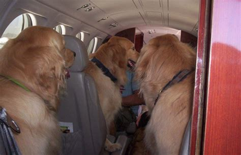 service dogs on planes the support scam now invades jet planes batterypark tv we inform