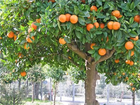 tree with small orange fruit 17 best images about orange trees on trees