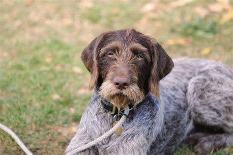 german wirehair puppies german wirehaired pointer mix www imgkid the image
