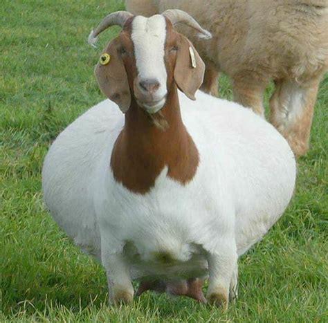 de cabras raza de cabras boer entra y conoce esta excelente raza