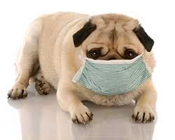 pug allergies managing allergies