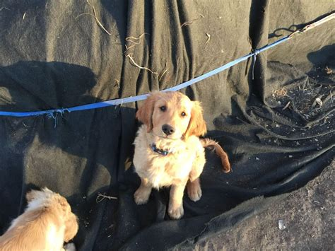 golden retriever puppies for sale in ny golden retriever puppies for sale in dutchess county ny labrador breeder