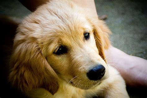 marley and me golden retriever a doesn t care if you re rich or poor educated or illiterate clever or dull by