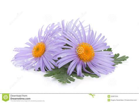 Blus Chamomile blue chamomile flowers stock images image 25997244