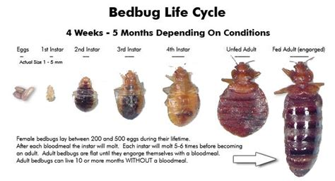 bed bug stages bed bug life cycle bedbug me