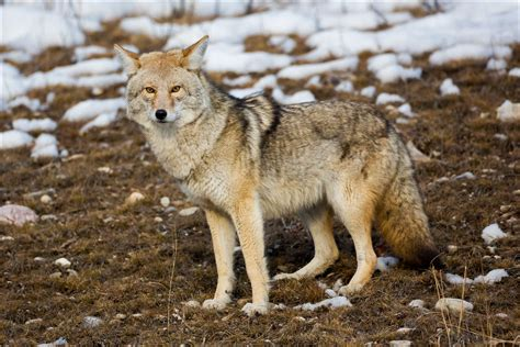images of a coyote coyote christopher martin photography