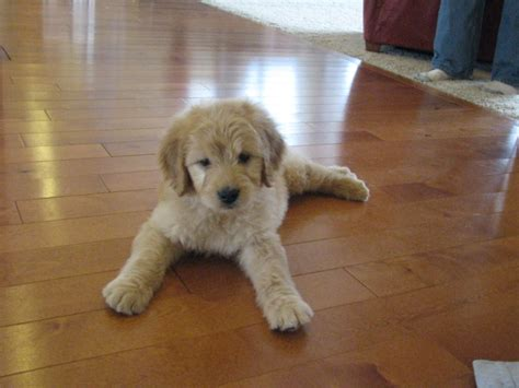 goldendoodle puppy for sale in puppies for sale goldendoodle goldendoodles f