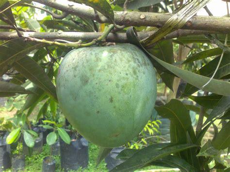 Bibit Buah Unggul bibit tanaman buah unggul tamora unggul nursery mangga