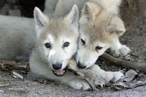 wolf puppet template wolf puppet template wolf facts international wolf