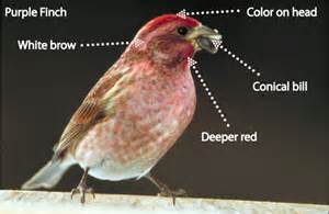 how to tell the apart a house finch and a purple finch