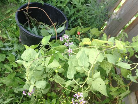 identification vine like weed growth with lilac flowers and small reddish fruit gardening