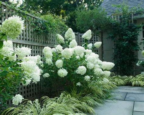Landscape Pictures With Hydrangeas Limelight Hydrangea Outdoor Trees Shrubs