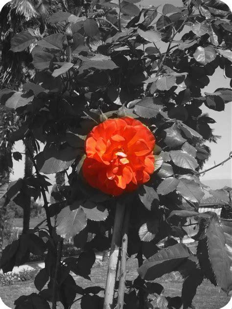 foto fiori bianco e nero la vita non 232 bianco e nero foto