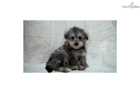 puppies for sale in mi schnoodle puppies for sale newhairstylesformen2014