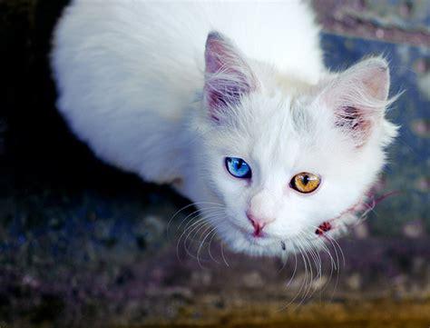 Cat Eye Original Orange animal blue cat orange image 130954 on favim