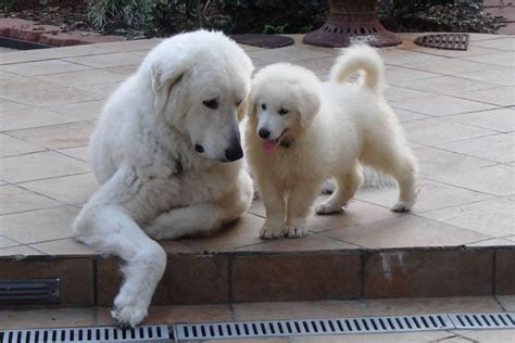 kuvasz puppies kuvasz puppies for sale from reputable breeders