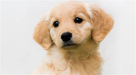 golden retriever puppies that stay small comfort retriever miniature golden retriever