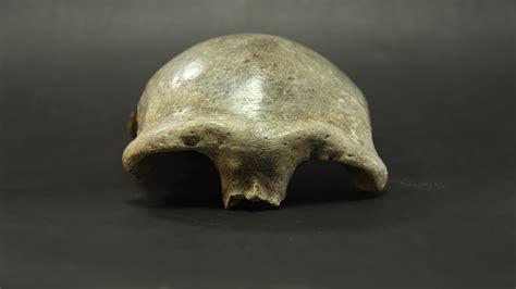 ancient mongolian skull   earliest modern human     region university  oxford