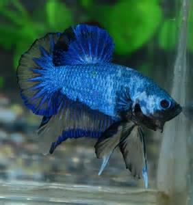 Betta Fish Afira: Betta Oct 22,2012