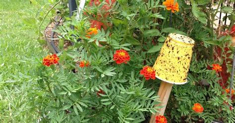 setting a trap for garden pests namely aphids and