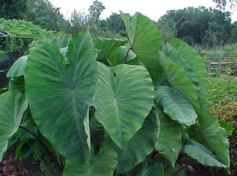the elephant ear plant the garden of eaden