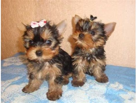 registered yorkie puppies for sale akc registered home trained yorkie puppies for sale animals adelanto california