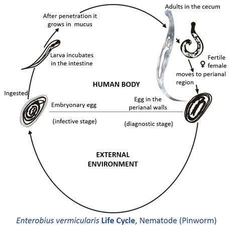 pinworm cycle diagram enterobius vermicularis cycle information by