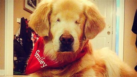 blind golden retriever blind golden retriever smiley warms hearts as therapy abc news