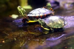 aquatic turtles what is a basking area petfoodia com