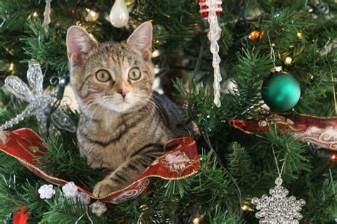 cat on top of christmas tree meme 10 tips to help make your tree cat proof pets4homes