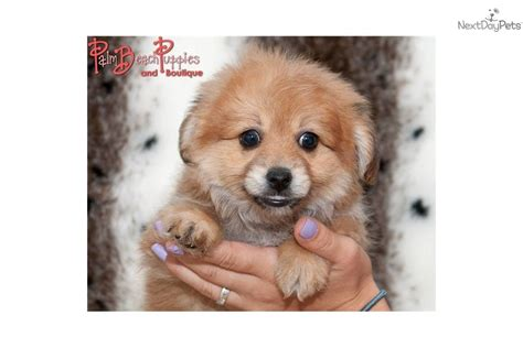 pomeranian poo boxer puppies nynj breeds picture
