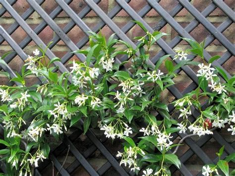 gelsomino terrazzo falso gelsomino trachelospermum jasminoides somanum