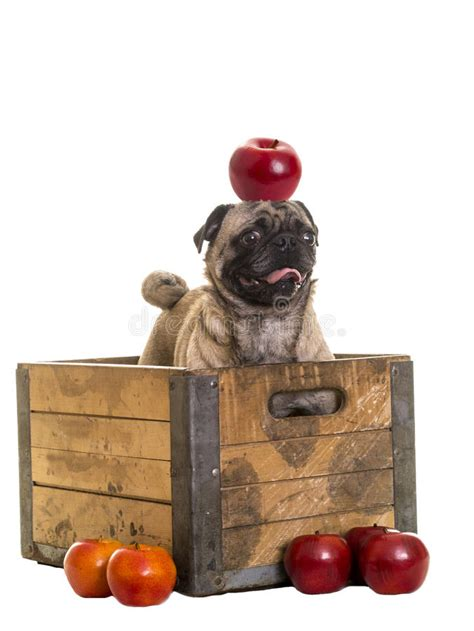 pug crate pug in apple crate stock photo image 28922800