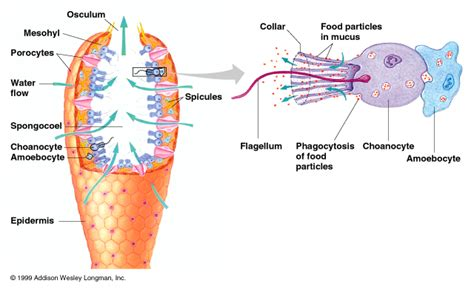 sponge external anatomy diagram diagram of phylum porifera sponges