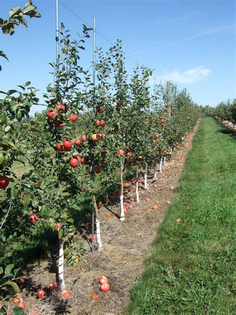 guide  plant  care dwarf apple tree interior