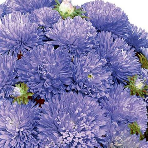 aster color aster colour carpet blue wexthuset