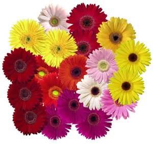 gerbera daisies colors gerbera gerbera jamesonii mix all colors of the