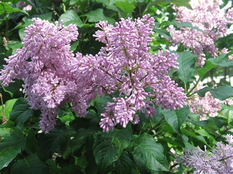 lilacs bush sherry s place lilac bush in full bloom
