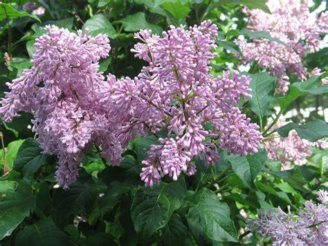 lilacs bush sherry s place lilac bush in bloom