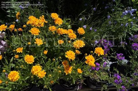 Gardens West Bloomfield by Plantfiles Pictures Coreopsis Bigflower Coreopsis