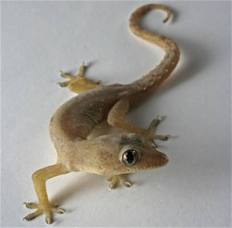 common house gecko facts  pictures reptile fact