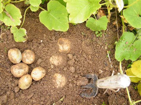 it s time to plant potatoes wells brothers pet lawn garden supplywells brothers pet lawn