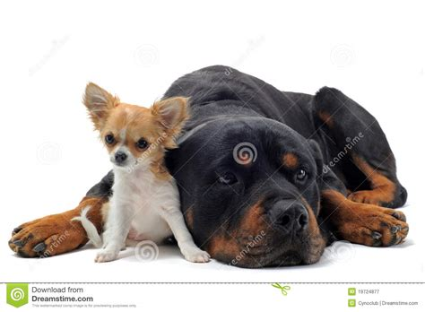 rottweiler chihuahua puppies rottweiler and puppy chihuahua royalty free stock photography image 19724877