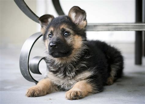 free german shepherd puppy your just goddamn your goddamn it afc division open thread door