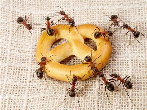 was tun gegen ameisen in der wohnung ameisen im haus was tun welche hausmittel helfen wie