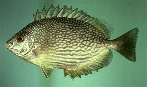 Benih Ikan Koi Malaysia 33 best ikan images on fish beautiful
